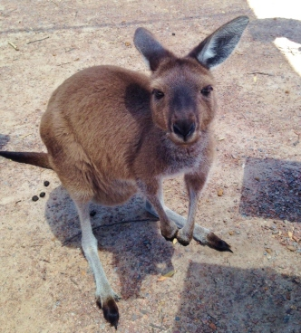 Bathers Paradise Caravan Park Esperance, Kangaroo at Lucky Bay Cape Le Grand